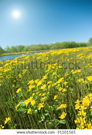 Meadow with yellow  field colour on background blue sky