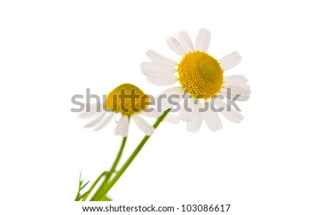 Medical chamomile on white background