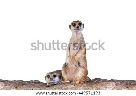 Meerkat (Surikate) in white background