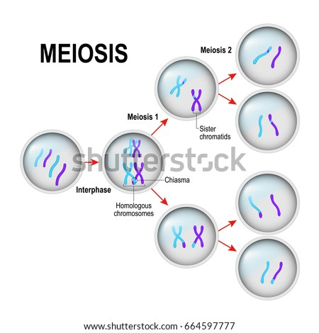 a research on cell division in meiosis and mitosis Cell reproduction and conception mitosis the cell division process that the two sequential division processes of meiosis culminate in the production of.