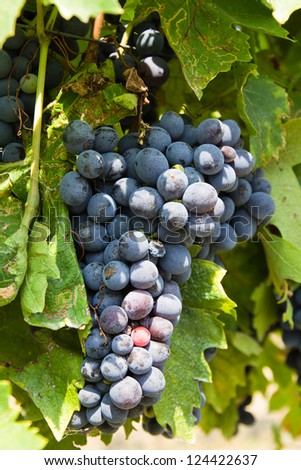 merlot grapes on the vine