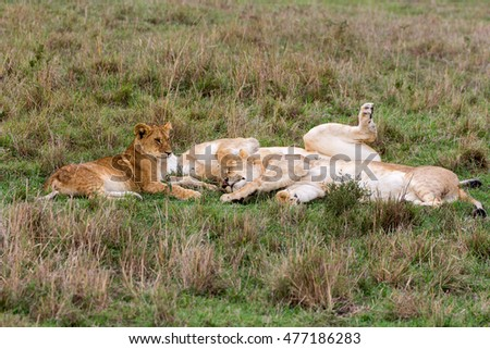 Mighty Lion lying and sleeping in the grass at sunset with Lion cub keeping watch in Masai Mara, Kenya