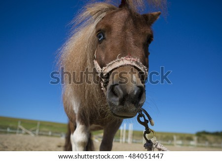 Miniature horse looking at the camera