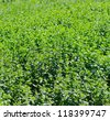 Mint - (Mentha) - stock photo