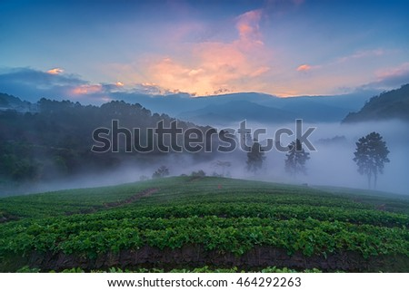 Misty morning sunrise in strawberry garden at doi angkhang mountain, chiangmai of Thailand