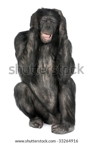 Mixed-Breed between Chimpanzee and Bonobo (20 years old) in front of a white background