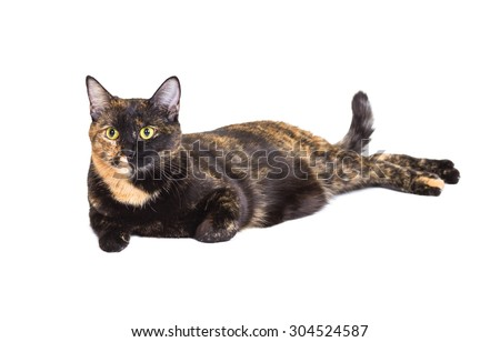 Mixed breed cat tortoiseshell color lies isolated on white background