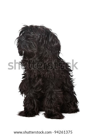 mixed breed, Yorkshire terrier and poodle, in front of a white background