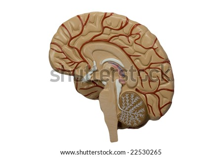 Model of the human brain isolated on white