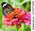 Monarch butterfly on pink Zinnia flower - stock photo