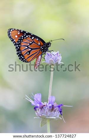 Monarch butterfly resting on top of purple flower in meadow