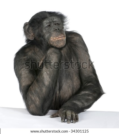 Monkey at a table (Mixed-Breed between Chimpanzee and Bonobo) (20 years old) in front of a white background