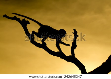 Monkey on a tree silhouette