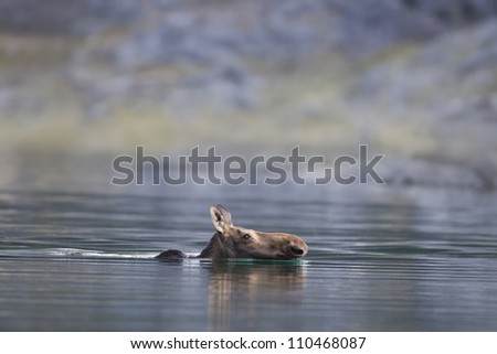 Moose swimming across a lake.