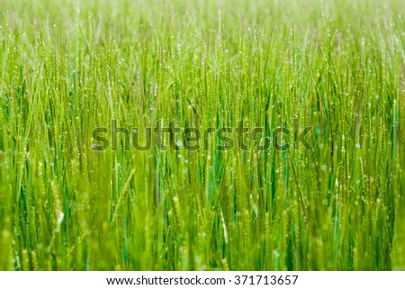 Morning drops of dew on green grass