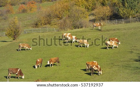 Morning sunrise with cows on field
