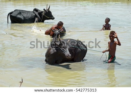 MORONDOVA, MADAGASCAR - CIRCA OCTOBER 2016: Malagasy boys washing black zebu cow in a muddy pond near the Avenue of the Baobabs