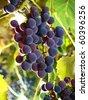 moscato grapes within italian wineyard - stock photo