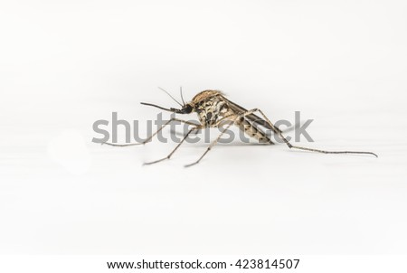 Mosquito on a white background - Macro photo