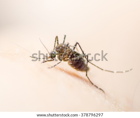 Mosquito on human skin w/ human blood in insect's stomach: Tropical insect animal, danger bacteria + virus carrier cause dangerous illness/ disease - zika, flavi, malaria, flavivirus, dengue, gnat