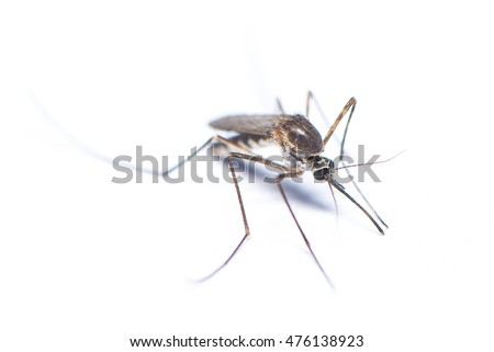 Mosquito on the white background