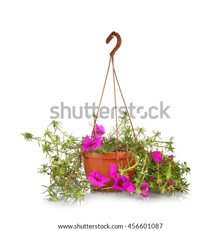 Moss Rose Portulaca grandiflora in pots to hang on white background.
