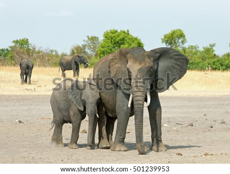 Mother and Calf Elephants standing on the plains in Hwange National Park