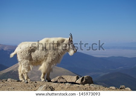 Mountain Goat in the High Country