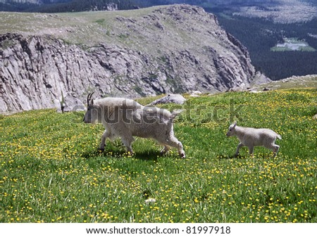 "Mountain Goat Mother and Her Young, titled ""Tag-Along"""