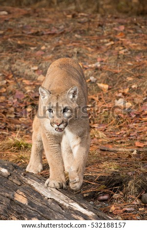 mountain lion standing in a wooded area in the winter