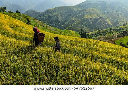Mu cang chai terrace rice field on during sunset ,Vietnam