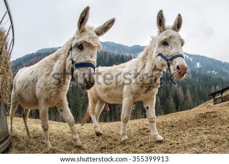 mule donkey portrait close up on mountain background