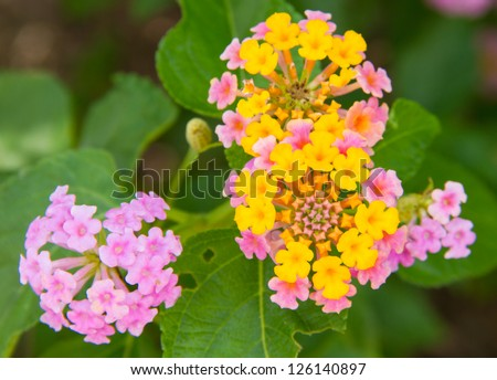 Multi-colored Lantana flowers with  leaves