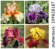 multicolor bearded iris set, images from Garden of Iris in Florence, Tuscany, Italy, Europe - stock photo