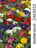 Multicolored flowers bed - stock photo