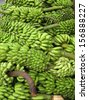 Musa is one of three genera in the family Musaceae; it includes bananas and plantains. - stock photo