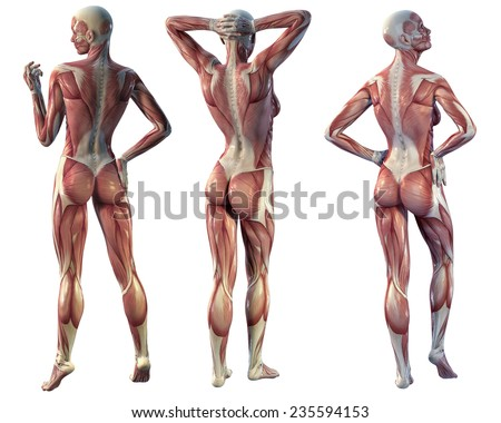 human muscles anatomy stock illustration 49523893 - shutterstock, Muscles
