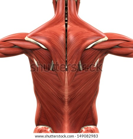 Of Male Muscular System Posterior And Anterior View Full