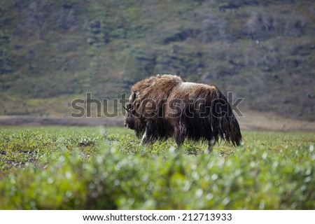 Musk ox in arctic valley, Greenland