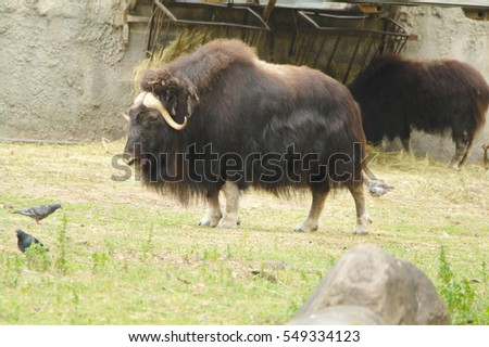 Muskox, musk ox to the Zoo of Moscow, Russia