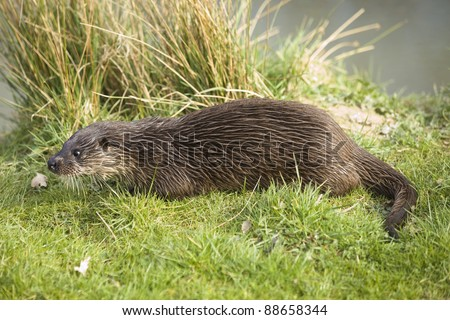 Native British otter on the grass on a river bank.