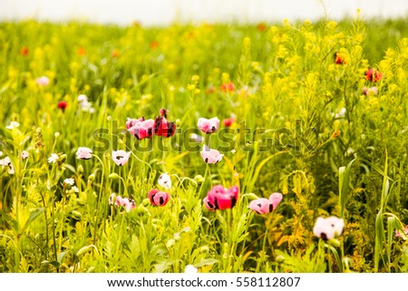 Natural beauty of the poppy field.  Cornfield in the foothills of the mountains . Poppy flower gardens