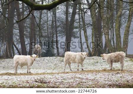 Natural grazing cows in winter in forest