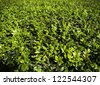 natural green leaf tree - stock photo