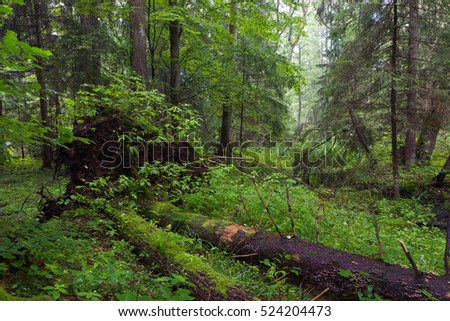 Natural mixed stand in summer morning with two broken spruces broken, Bialowieza Forest, Poland, Europe