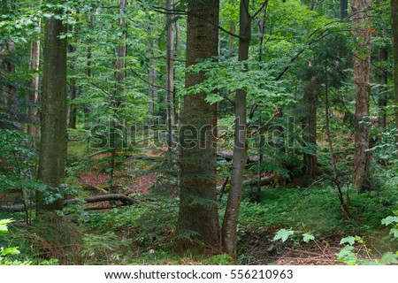 Natural mixed stand of Bieszczady Mountain region in summer rain after with two old sycamore tree in foreground,Bieszczady Region,Poland,Europe