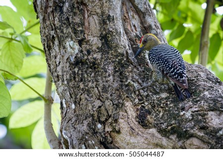 natural scene with a black checked woodpecker perched on a large tree searching for food