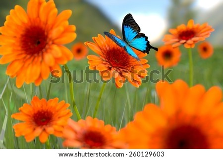Natural summer gerbera flowers with butterfly