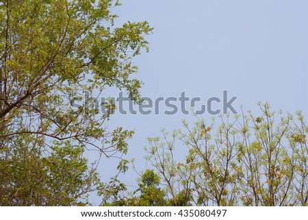 Naturally, in a clear day.high tree and blue sky in summer day