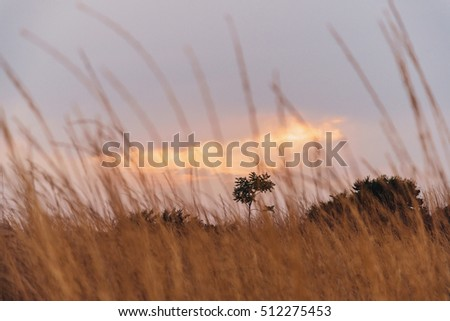 Nature background. High yellow dry grass at sunset
